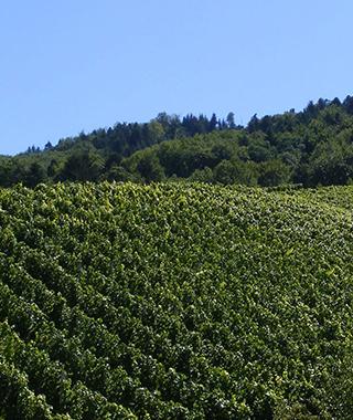 ドイツのワインぶどう畑
