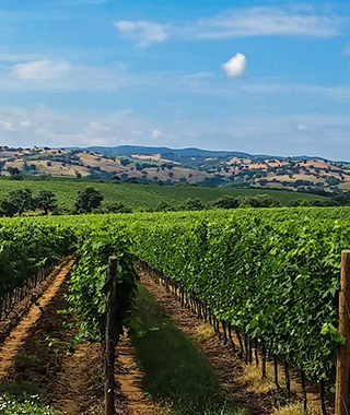 イタリアのぶどう畑